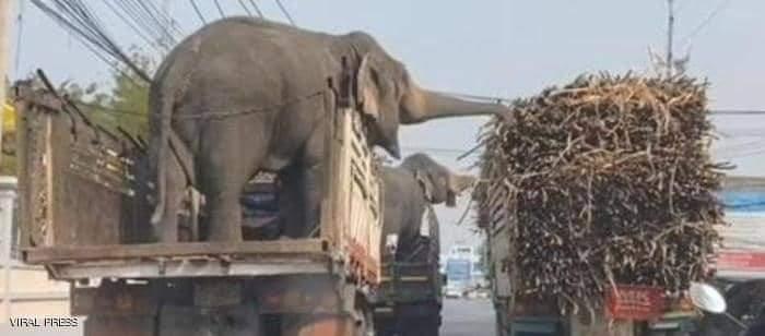 الفيلان انتهزا الفرصة وحصلا على وجبة سريعة من قصب السكر